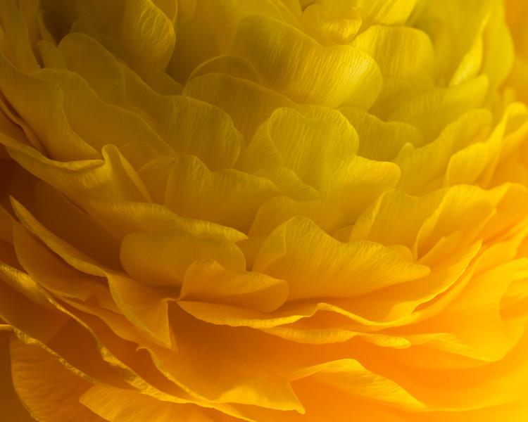 Yellow Ranuculus