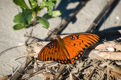 _DSC7112_butterfly