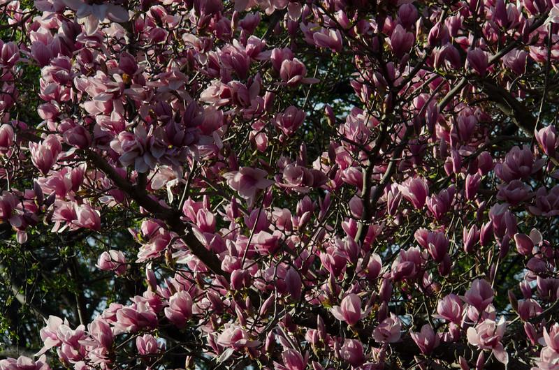 Cherry Blossom Tidal Basin Early Morning -42.jpg