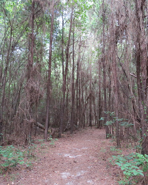 primeval woods.JPG