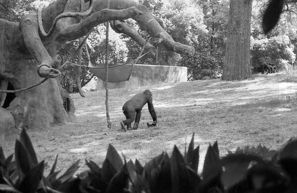 1 5-26-2014 Zoo Atlanta in Black and White