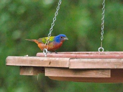Painted Bunting Graces Our Yard