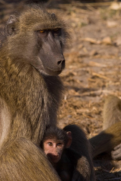 Baboons1.jpg