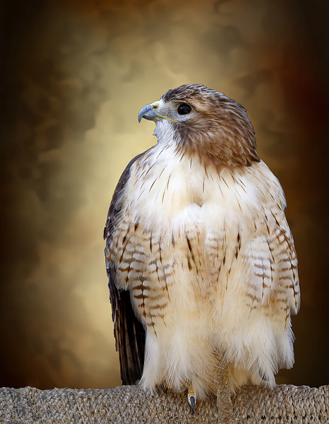 I brought this Red Tailed Hawk into the studio for some portrait work