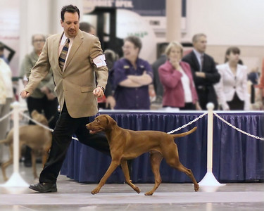 2010 Houston Dog Show - Vizsla