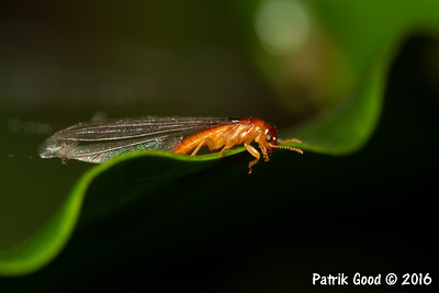 Red-Brown Termite