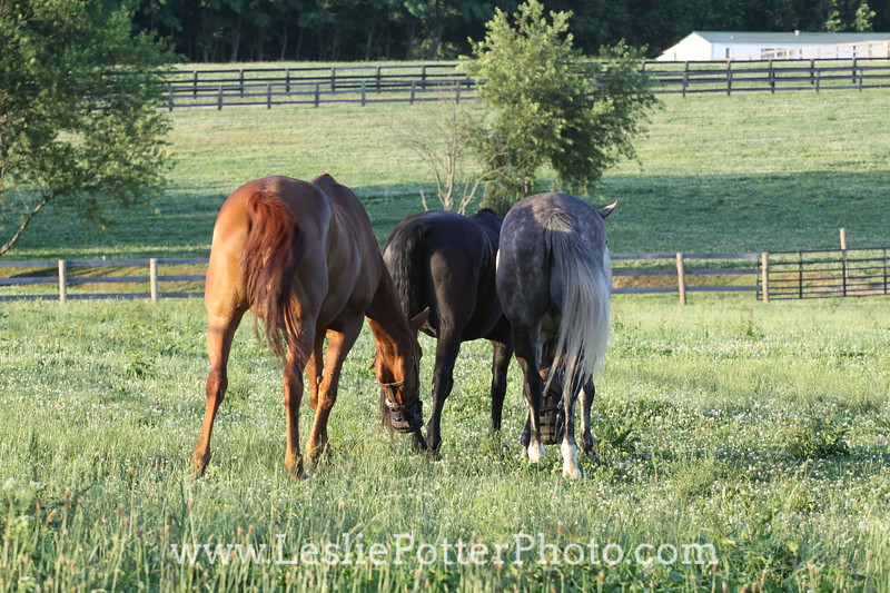 Three Horses Grazing in Pasture