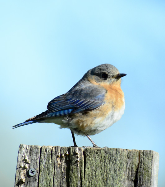 ryle-irwin-bluebird-on-post-chillicothe-ohio.jpg