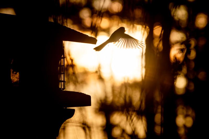 Black-capped Chickadee at feeder backlit backlighting Skogstjarna Carlton County MN  IMGC8990.jpg