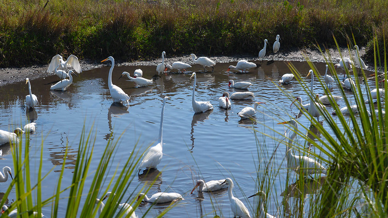 Many different species of white birds in a very small pond