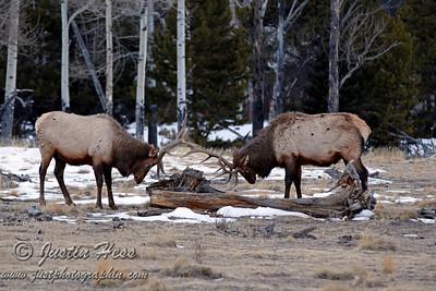Horseshoe Park Elk 1-16-2013