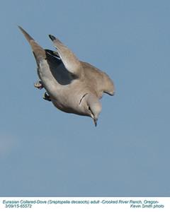 Eurasian Collared Dove A65572.jpg