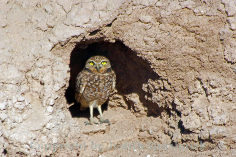 Burrowing Owl at Burrow ~ This owl popped out of the door of his burrow when I drove by, and watched me for a few minutes before heading back inside.  His burrow was in the side of an irrigation ditch by an agricultural field near Salton Sea, CA.