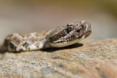 rattlesnake_9163_edited-1-1