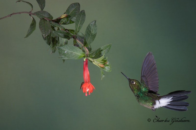 hummingbird guango lodge ecuador february 2019-2.jpg