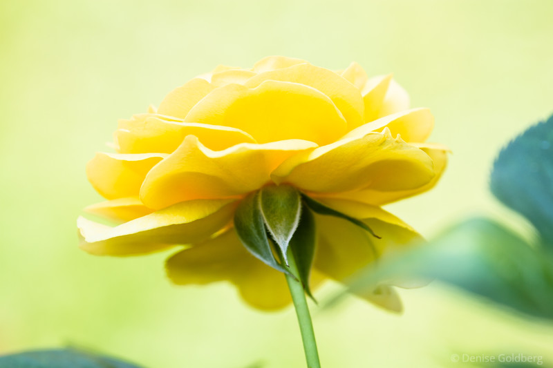 a rose in yellow