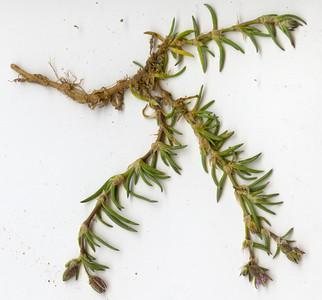 Spergularia rubra, purple sand spurry