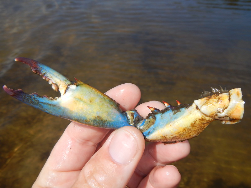claw from a blue crab