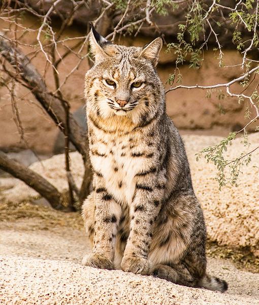 Bobcat 02.jpg