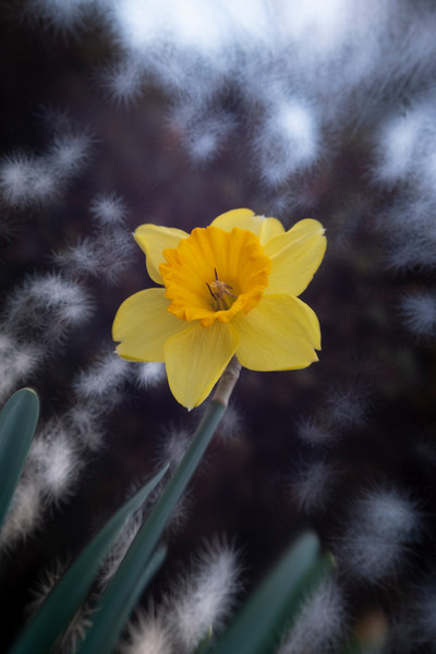 Daffodils032819-77.jpg