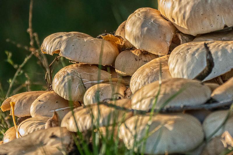 A troop of Mushrooms