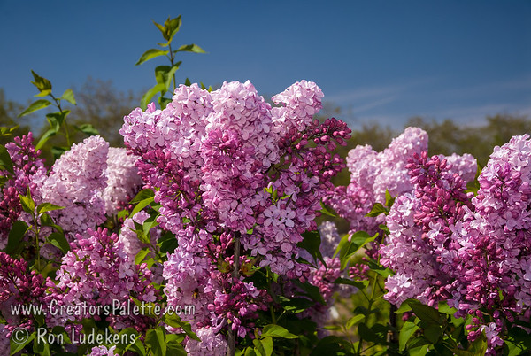 Esther Staley Lilac - Syringa x hyacinthiflora 'Esther Staley'