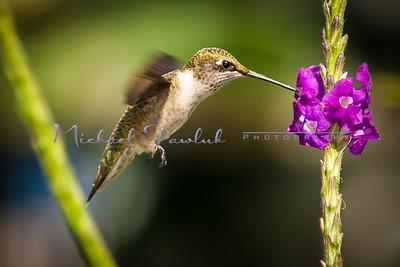 Hummingbird Encounter