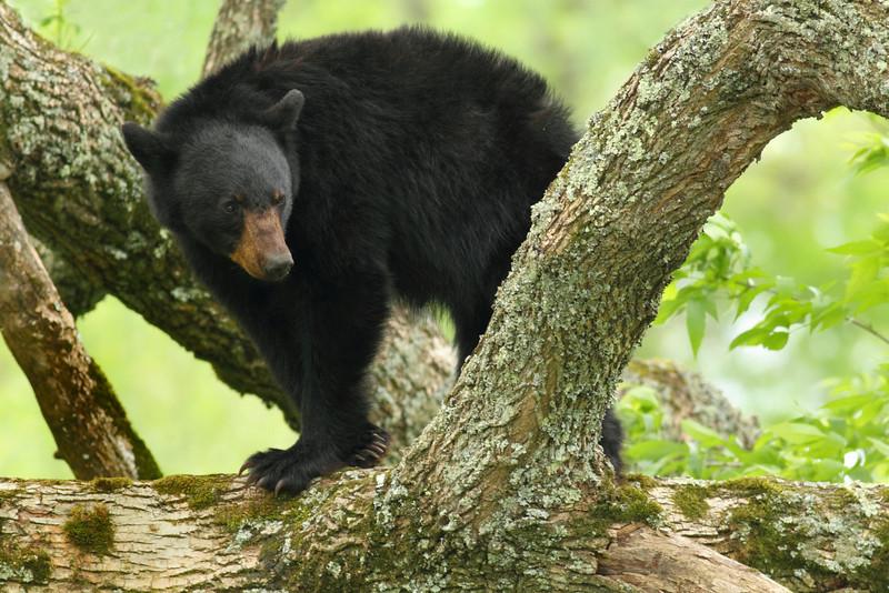 Black Bear Posing In A Tree