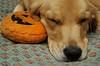 Shirley sleeping with her pumpkin