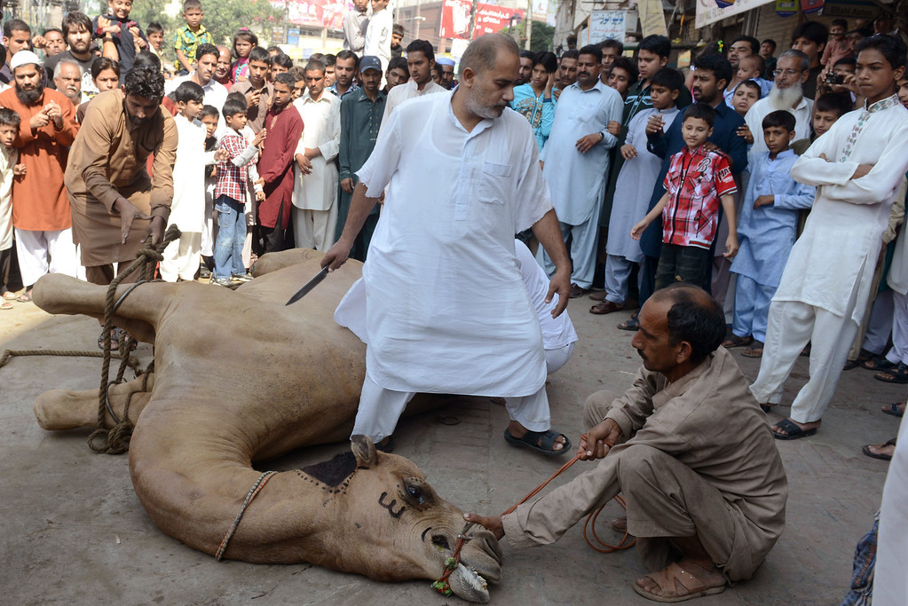 . Pakistani butchers prepare to slaughter a camel during the Eid al-Adha festival in Lahore on October 16, 2013.  AFP PHOTO/ Arif Ali/AFP/Getty Images