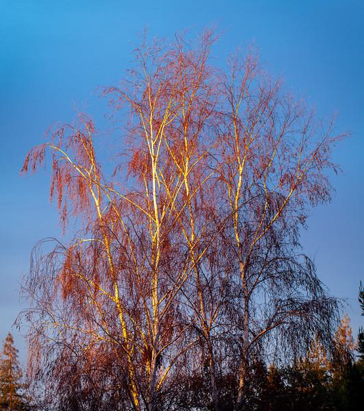 Tree at Sunrise, Campbell, California, 2010