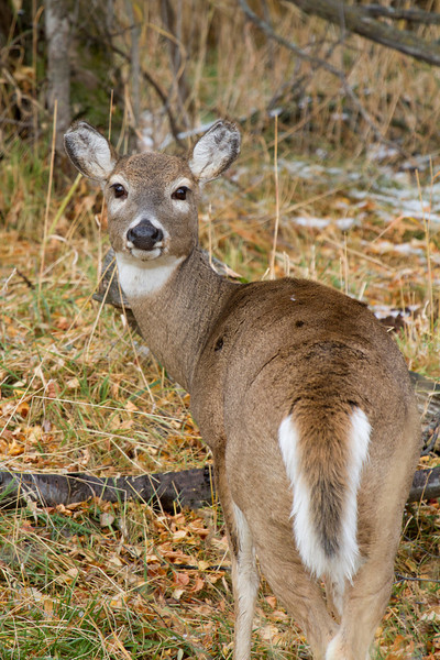 Whitetailed Deer177.jpg