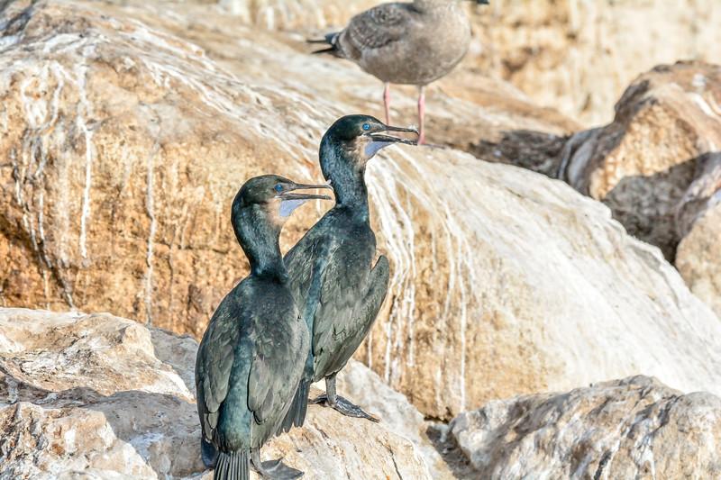 -_Brandt's Cormorant - 2013-11-27_153 Monterey.jpg