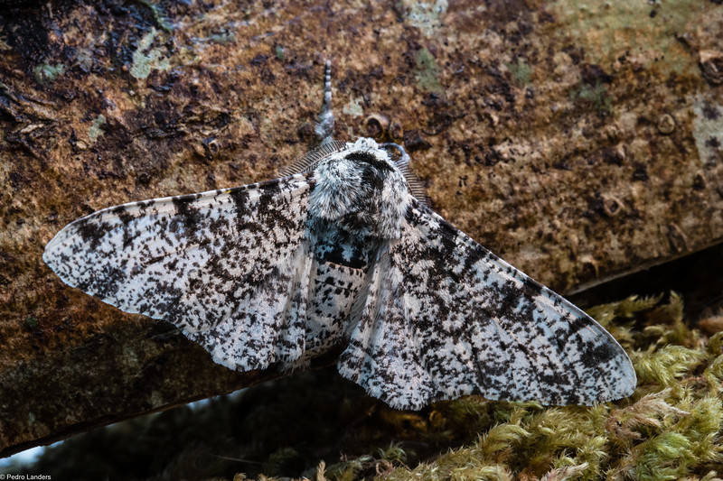 Peppered Moth 2