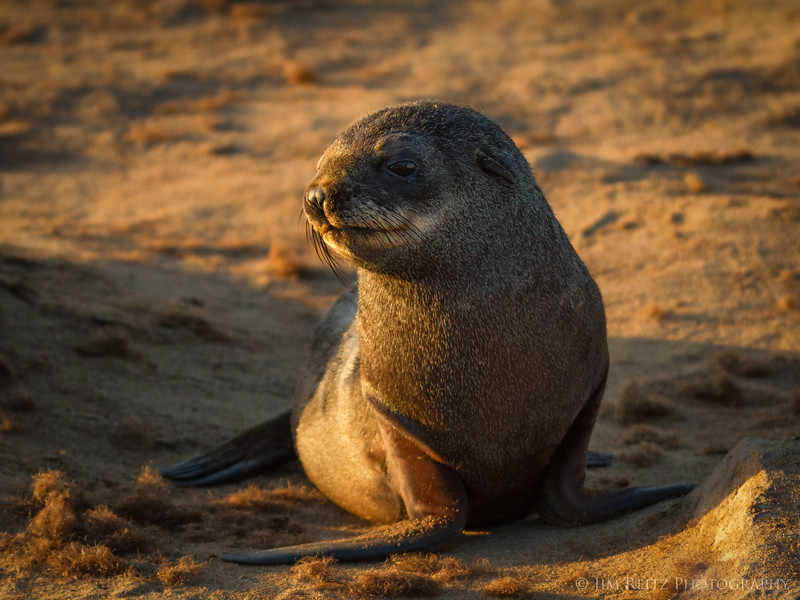 Fur seal pup - Cape Cross, Namibia.