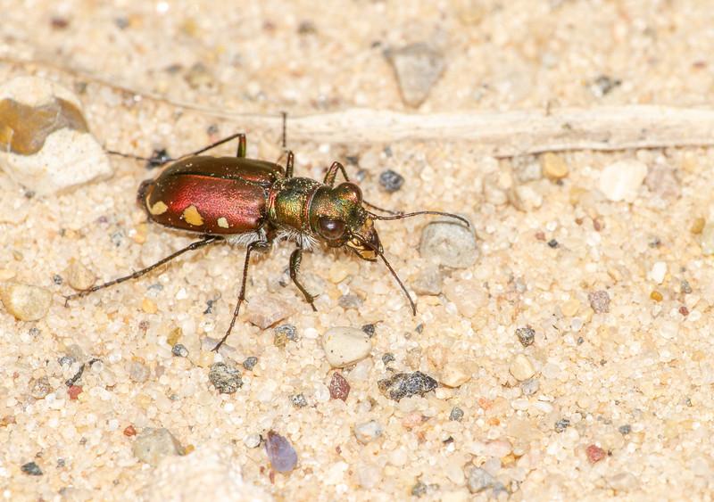Cicindela scutellaris subspecies Lecontei Festive Tiger Beetle Sauk Prairie Recreation Area WI IMG_0329.jpg