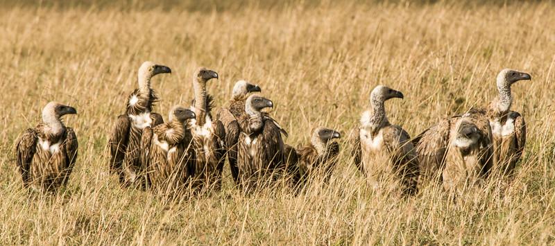 Birds_Vultures-9.jpg