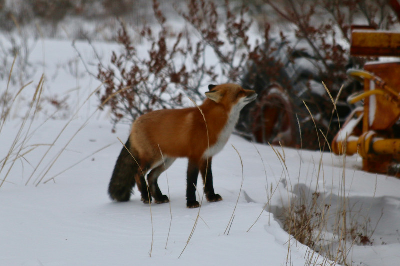 Curious red fox jumped up and sat on the tire once once; jumped down, tried again unsuccessfully and slunk away  appearing embarrassed.
