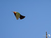 White Fronted Bee-eater in flight 6