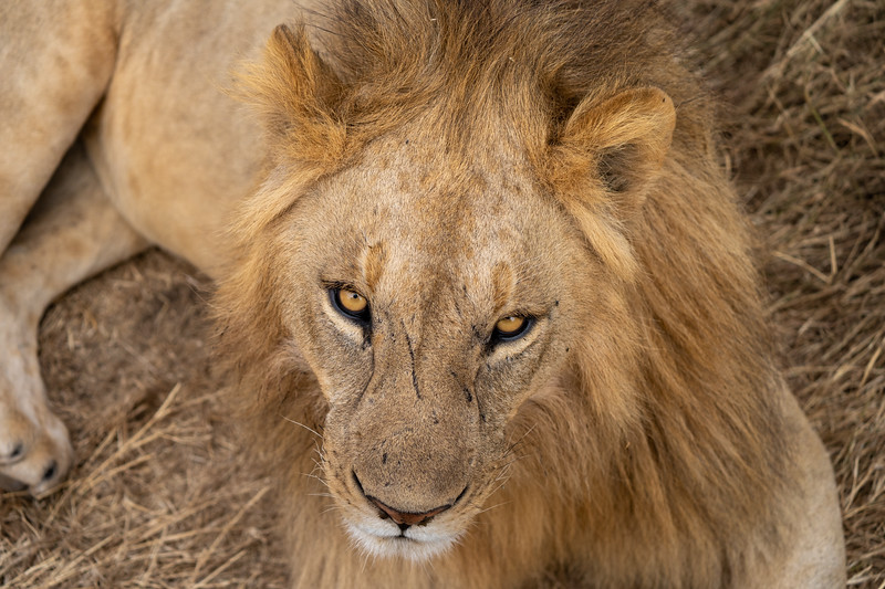 Lion in the Ngorongoro Crater