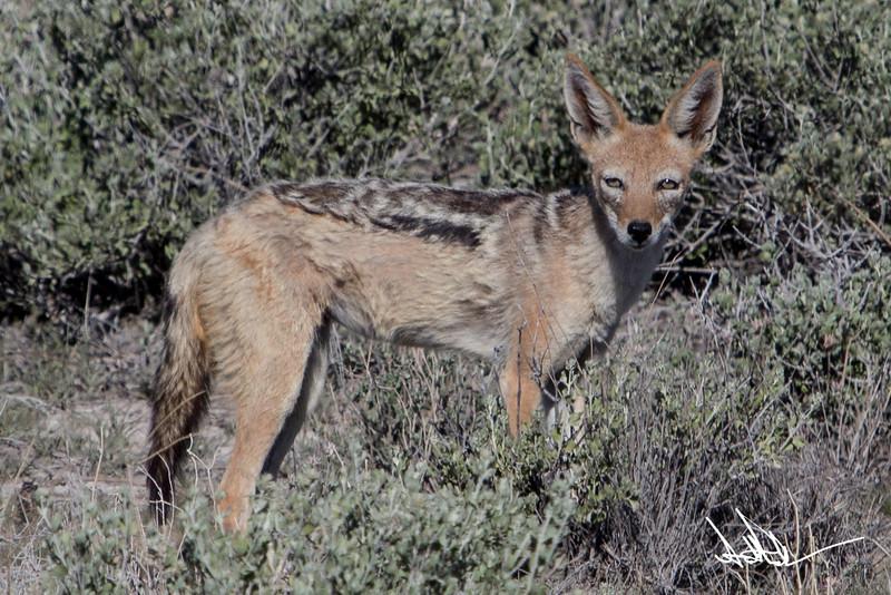 Hyena-Jackel S-3.jpg