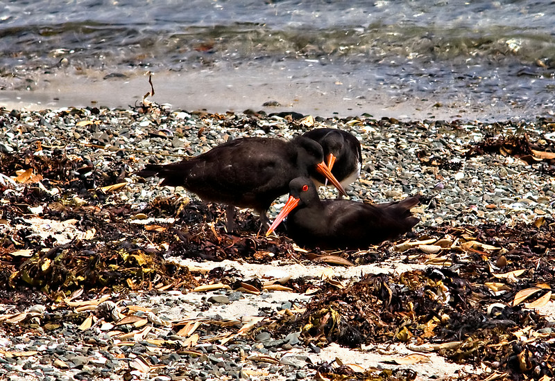 Variable Oyster Catchers