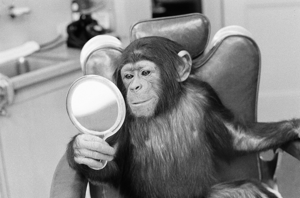 ". Kelly the acting chimp, whose real nose is too flat for his role in ""Escape From the Planet of the Apes,\"" looks in a mirror at a human-style plastic nose made for him by a film studio technician in Hollywood, Jan. 20, 1971.  (AP Photo/David F. Smith)"