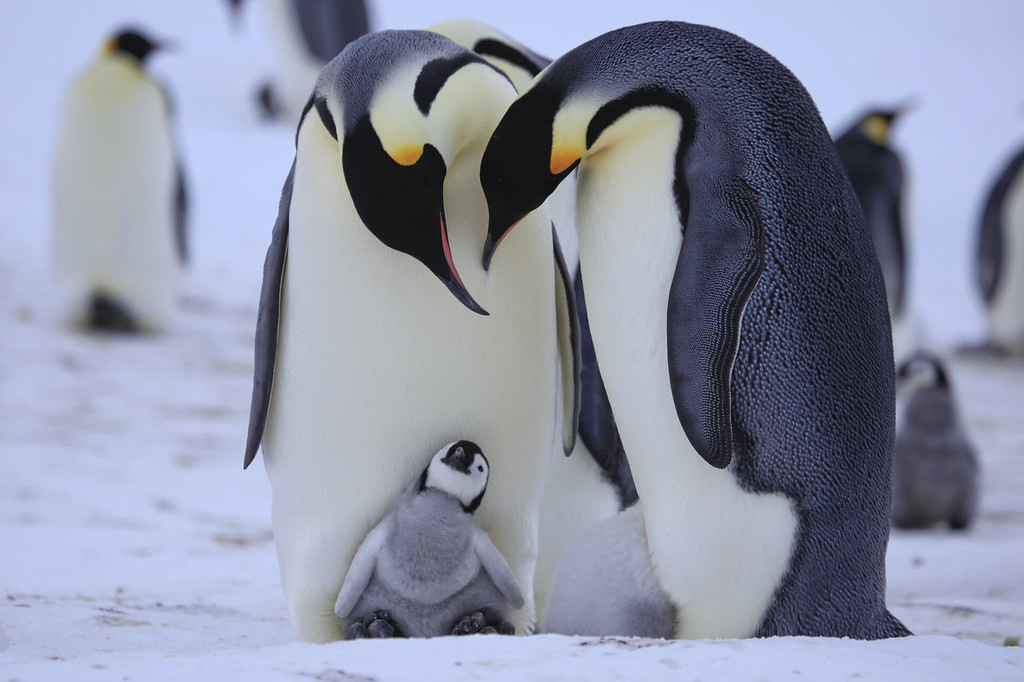 . Emperor parents care for a chick.  �Penguins: Waddle All the Way,� premiers Nov. 23 on Discovery. Jane Lynch narrates this two-hour special, a Discovery/BBC co-production from award-winning filmmaker John Downer. (Photo by Frederique Olivier/JDP World All Media)