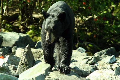 3rd BEAR VIEWING - 2007