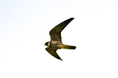 Falkar – Falcons