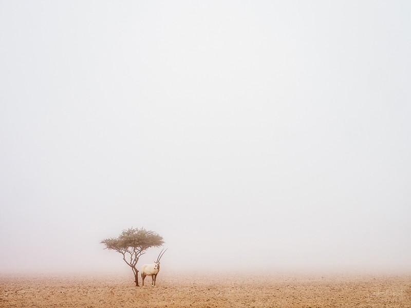 Arabian Oryx (34).jpg
