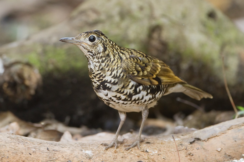 Scaly-breasted Thrush