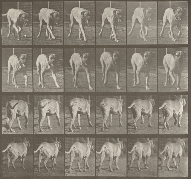 Dog Dread trotting (Animal Locomotion, 1887, plate 705)