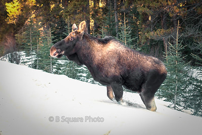 Canadian Rocky Mtn Wildlife